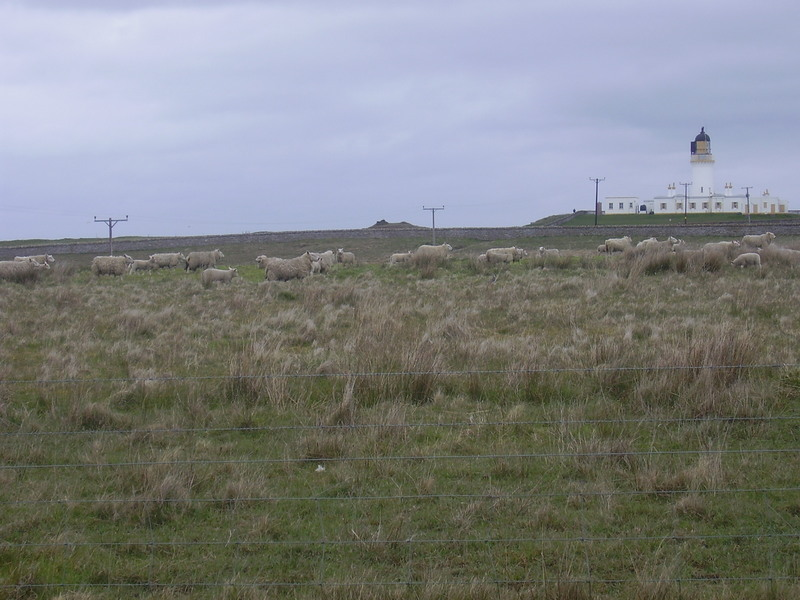 Sheep and lighthouse